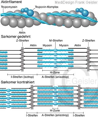 Muskel Aktin-Kontraktion, Myofibrille Myosin mit Myosinkopf