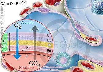 Physiologie Atmung Diffusion in Lungenbläschen Alveolen des Menschen