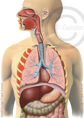 Anatomie Atemtrakt Atemwege Luftwege des Menschen