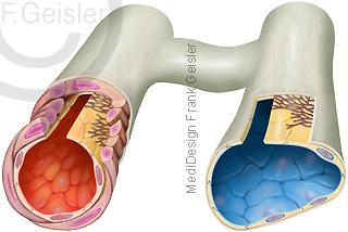 Anatomie Blutgefäße, Histologie Arteriole und Venole