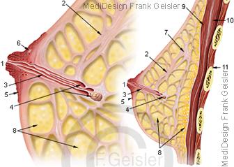 Anatomie weibliche Brust Mamma mit Brustdrüse