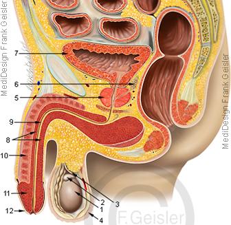 Anatomie Becken mit männliche Geschlechtsorgane, Organe beim Mann