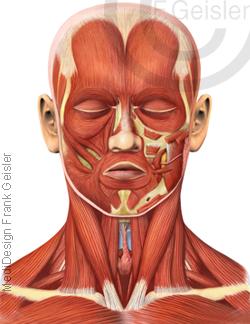 Anatomie Kopf, Gesicht und Hals mit Muskeln Muskulatur des Menschen