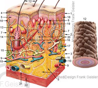 Anatomie Haut Derma Kutis und Haar