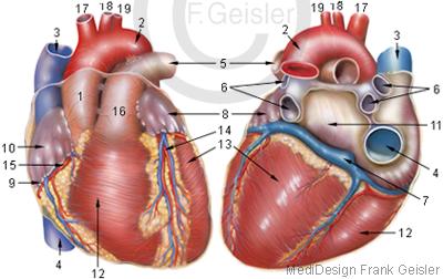 Anatomie Herz Kardia Cor des Menschen
