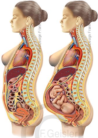 Anatomie Körper der Frau, innere Organe und Schwangerschaft mit Fetus Fötus