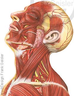 Anatomie Kopf und Hals mit Muskeln Muskulatur