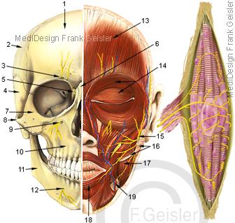 Anatomie Kopf mit Muskeln Gesichtsmuskulatur und Nerven, Muskelspindel mit Nervenfasern