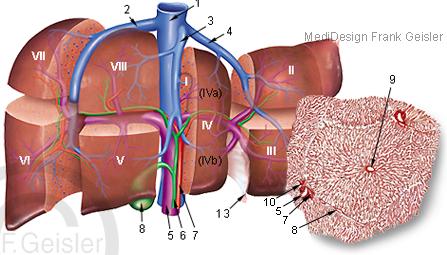 Anatomie Leber Hepar, Lebersegmente Gallenblase und Läppchen Leberläppchen