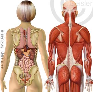 Anatomie Mensch, Organe Muskeln Rumpf von dorsal