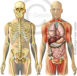 Anatomie Mensch, Rumpf mit Skelett und Organe