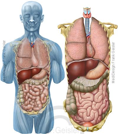 Anatomie Mensch, innere Organe Brustraum Bauchraum von vorn