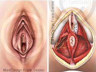 Anatomie Vulva Vagina Beckenausgang Organe der Frau