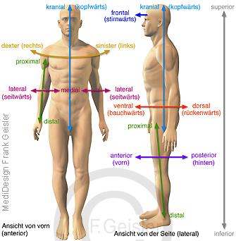 Anatomie des Menschen, anatomische Richtungsbezeichnungen Hauptrichtungen