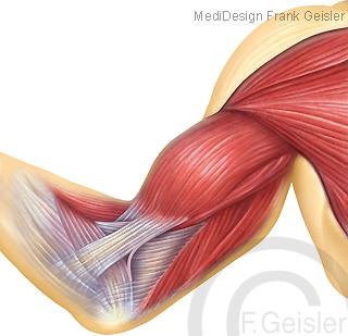 Arm mit Muskeln Oberarmmuskeln Bizeps und Trizeps