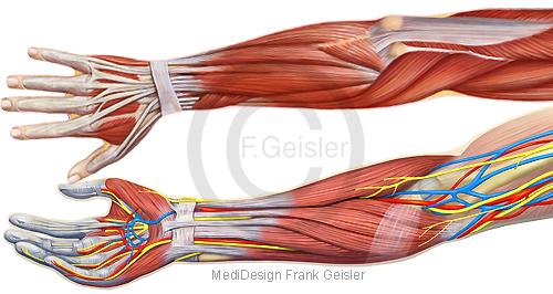 Anatomie Arm, Oberarm Unterarm und Hand mit Muskeln Muskulatur Nerven und Gefäße
