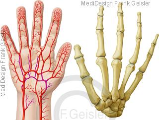 Anatomie Arterien der Handfläche Hand, Knochen Handwurzel mit Handrücken