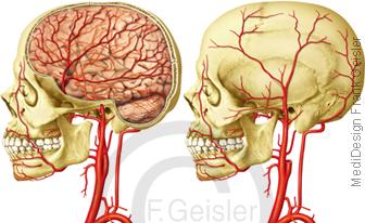 Arterien Hals und Kopf, Halsschlagader Arteria carotis Karotis