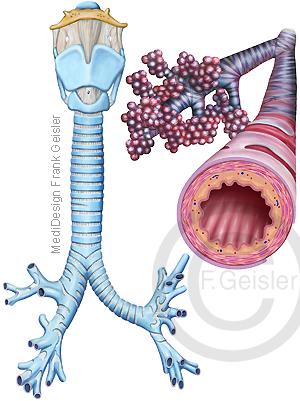 Atemwege Kehlkopf Luftröhre und Bronchien mit Bronchioli