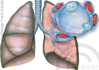 Atmung Atemwege Lunge mit Bronchien und Lungenbläschen