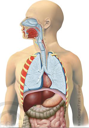 Atmung Respiration, obere untere Atemwege