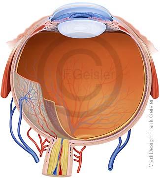 Anatomie Sehorgan Auge, Augapfel mit Augenhaut des Menschen