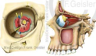 Anatomie Auge in Augenhöhle mit Augenmuskeln