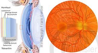 Anatomie Auge, Aufbau der Linse mit Augenhintergrund
