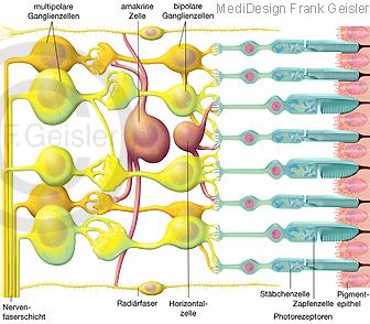 Histologie Auge, Netzhaut Retina mit Sehzellen