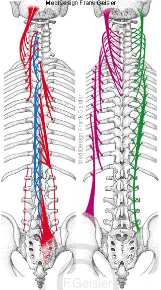 Schema autochthone Rückenmuskulatur mit Wirbelsäule Rippen