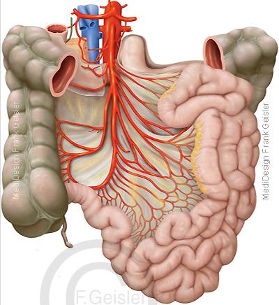 Anatomie Bauchfell, Peritoneum mit Gekröse Dünndarm