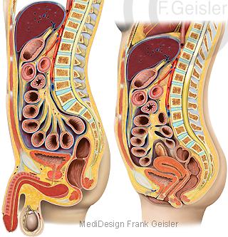 Anatomie Bauchfell Peritoneum mit Organe im Bauchraum des Menschen