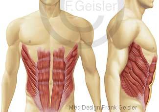 Muskeln Maskulatur Bauch, Bauchmuskeln Bauchmuskulatur