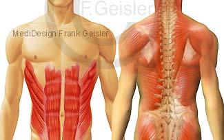 Muskeln Muskulatur des Menschen, Bauchmuskulatur Skelettmuskeln mit Rückenmuskulatur