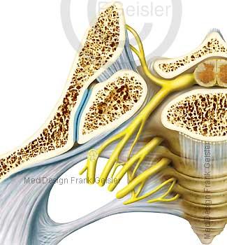 Anatomie Becken, Iliosakralgelenk Articulatio sacroiliaca mit Kreuzbein und Nerven Nervengeflecht