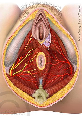 Anatomie Beckenboden der Frau, Beckenbodenmuskulatur mit Beckenausgang Geschlechtsorgane Vagina