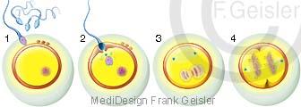 Befruchtung Eizelle Oozyte des Menschen durch Samenzelle