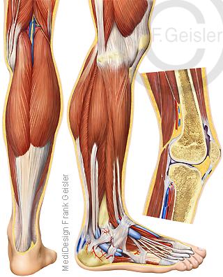 Anatomie Extremitäten, Bein mit Kniegelenk Knie Unterschenkel und Fuß mit Muskeln Sehnen beim Mann