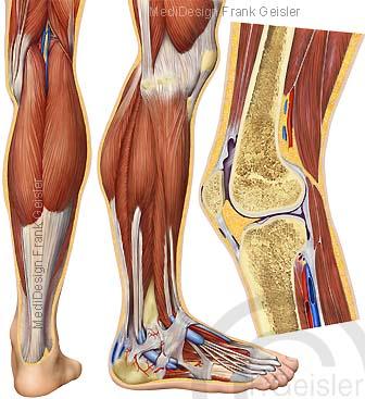 Anatomie Bein des Menschen mit Oberschenkel Kniegelenk Unterschenkel