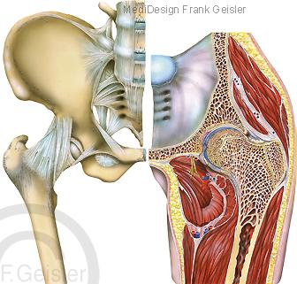 Anatomie Bewegungsapparat Becken, Hüfte mit Hüftgelenk