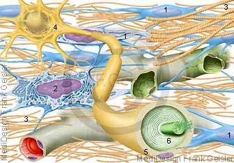 Histologie Gewebe Bindegewebe, Nerven Nervengewebe mit Kollagen