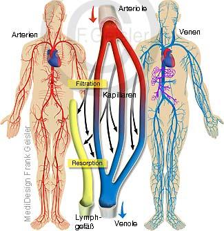 Blut Kreislauf Blutkreislauf Kreislaufsystem des Menschen