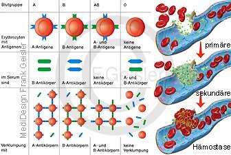Blut Blutgruppen und Gerinnung Blutzellen Blutgerinnung Hämostase