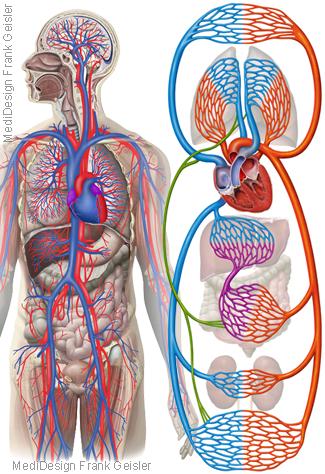 Blut Blutkreislauf, Herz-Kreislauf-System Körperkreislauf