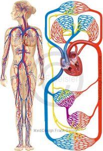 Blutkreislauf, Herz-Kreislauf-System Körperkreislauf mit Arterien Venen