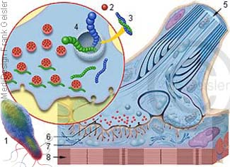 Schönheitsspritze gegen Falten, Botulinumtoxin Botox mit Botulismus-Erreger Clostridium botulinum
