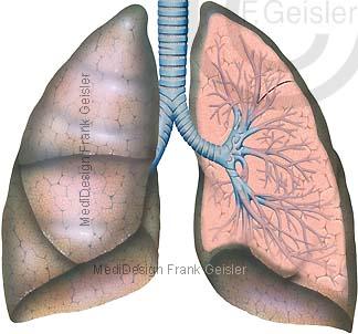Anatomie Lungenflügel der Lunge mit Lungenlappen und Bronchien Bronchioli