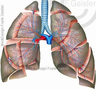 Anatomie Lungensegmente der Lunge mit Bronchien Arterien und Venen der Lunge