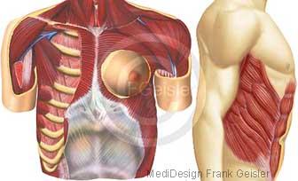 Anatomie Rumpf, Muskeln Muskulatur Rumpfwand und Brust