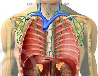 Lymphsystem, Brustraum mit Lymphbahnen und Lymphknoten